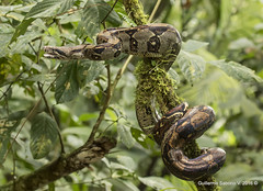 Boa constrictor (Gmo_CR) Tags: boaconstrictor snake serpiente culebra redtailedboa