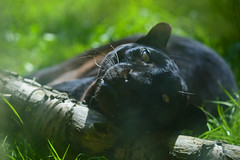 'Thoughtful' (andrew_@oxford) Tags: black panther amazing animals heythrop zoo