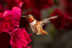 Beauty in the Bougainvillea (Patricia Ware) Tags: allenshummingbird backyard birdsinflight bolsachicaecologicalreserve bougainvillea california canon ef500mmf4lisusm huntingtonbeach manhattanbeach multipleflash selasphorussasin tripod httppwarezenfoliocom 2016patriciawareallrightsreserved specanimal