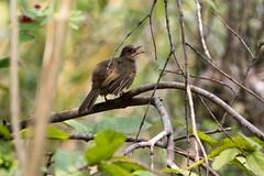 20160808-7D2_4731 (shutterblades) Tags: birds bulbul canon100400lmkii canon7d2 mandaizoo riversafari singaporezoo