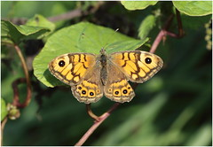 Wall Brown (jenny*jones) Tags: 668a2828 wallbrown wallbrownbutterfly lassiommatamegera nymphalidae brushfootedbutterfly lepidoptera cumbria northwesternlakes thelakedistrict aug2016 canon7dmarkii canon100mm28 naturephotography naturalworld