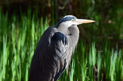 Great Blue Heron (careth@2012) Tags: heron greatblueheron nature wildlife beak feathers