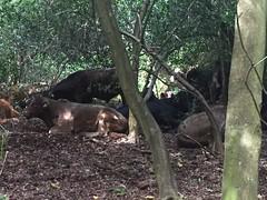 Sutton park tree cows (iwanczuk_shots) Tags: hiding shelter trees tree cows cow suttonpark park sutton