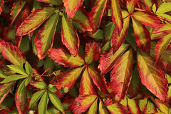 Stop, It It Is Still August (gripspix (OFF)) Tags: red green rot grn leaves bltter bostonivy wilderwein herbstfrbung autumncolor