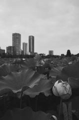 GR002007.jpg (Ryo(りょう)) Tags: lotusflowers 28mm shinobazunoike tokyo bw monochrome japan ricohgrii