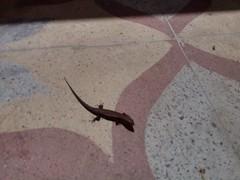 lizard (krihsnasri) Tags: lizard animalia chordata tetrapoda reptilia squamata lacertilia