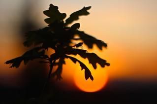 Sitting on an oak leaf and enjoy the sunset