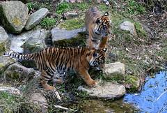 Tess & Nonja Exploring (Ger Bosma) Tags: animal animals cub tiger young cubs tess sumatrantiger youngster juvenile tijger tigress youngsters whelp sumatratiger nonja juveniles pantheratigrissumatrae sumatraansetijger whelps tigredesumatra tigredisumatra tygryssumatrzaski  2mg93918
