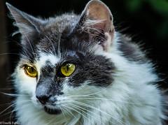 Don't move! (tinellifabio) Tags: portrait cats animal animals yellow cat canon eyes feline occhi sguardo felino gatto ritratto gatti animale muso profilo espressione allaperto profondit 600d animaledomestico pelolungo 55250 pelofolto canon600d