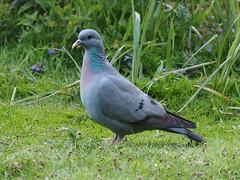Stock Dove (trisail) Tags: sandy rspb stockdove columbaoenas