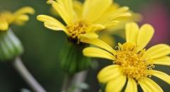 Yellow flower (LarryJay99 ) Tags: sunlight outside florida westpalmbeach canonefs60mmf28macrousm mountsbotanicalgardens canonefs60mmf28macrousa