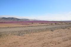 Desierto Florido '15 (Juan BenBag) Tags: chile road flowers flores ruta desert flor atacama desierto florido desiertoflorido regindeatacama chileestuyo