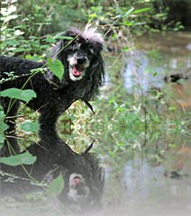 24/52 Skippy by the Creek (Bella Lisa) Tags: dog creek poodle suwanee skippy 52weeksfordogs 52wfd suwaneecreekgreenway