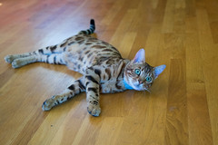 _DSC9035 (earlyadopter) Tags: cat bengal