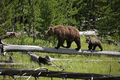 The Grizzly Bear Family (bbosica20) Tags: bears brownbears grizzlybears sow cub bearcub brownbearsow brownbearcub mammals aniamals nature wildlife 2016 yellowstone yellowstonenp yellowstonewildlife
