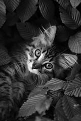 Tra le foglie (far.art) Tags: foglie cat occhi e gatto bianco nero freya freia musetto cucciola