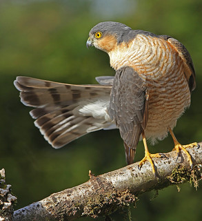 MALE SPARROWHAWK....Powys....This bird is still catching for his family at a terrific rate....Press L.