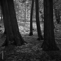 Grove of Trees, Saratoga State Park (DKAIOG) Tags: 6x6 film monochrome mediumformat blackwhite hasselblad500cm caffenolcl rolleirpx400
