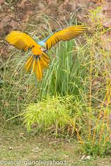 DSC_2332 (Pascal Gianoli) Tags: perroquet beauval bird oiseau parrot zoo zooparc saintaignansurcher centrevaldeloire france fr pascal gianoli pascalgianoli