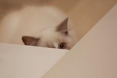 20160809-023 (Snowy Olaf) Tags: kitten britishlonghair       feliscatus  canon 5dmarkiii ef100400mm4556lis f4556
