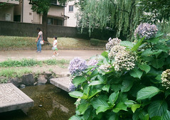 FUJICA MINI × Fujifilm 100 (Amigo Film Photography) Tags: fujica fujicamini fujinark fujifilm iso100 halffilm halfsize 35mmfilm 135film negafilm oldcamera fujiphotofilm フジカ フジカミニ フジカラー100 ネガフィルム 35mmフィルム 紫陽花