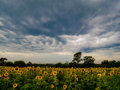 20160723-IMG_0102 (MandoCatDSM) Tags: sunflowers badger creek wildflowers sunrise