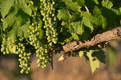 Harvest promises (dfromonteil) Tags: vineyard raisin vert green bokeh tree arbre sunset light feuilles leaves summer