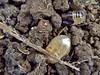 Cydnidae (carlos mancilla) Tags: insectos chinches truebugs ninfas nymphs olympussp570uz cydnidae burrowingbugs