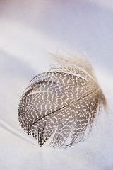Light (borealnz) Tags: light nature feather striped speckled