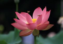 GA6A8210 (seiji2012) Tags: lotus flowe bee