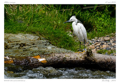 Sur les bords de l'Allier | On the banks of Allier (BerColly) Tags: france auvergne puydedome riviere river allier aigrette littleegret heron greyheron bercolly google flickr