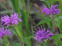 Bee Balm (Boulder Flying Circus Birders) Tags: beebalm monardafistulosa colorado boulder wildbirdboulder wildbirdcolorado wildbirdcompany formerwildbirdcenter birdseed birdwalk meyersgulch walkerranchopenspace bouldercountyparksandopenspace clarkanderson