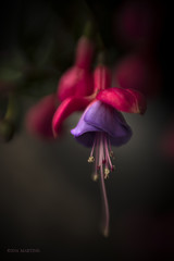 When the evening falls (.MARTINE.) Tags: martine nikond800 lensbaby fuchsia paars roze purple flower bloem plant 645
