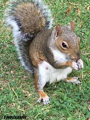 Crafty squirrel (lesleydoubleday) Tags: coventry animal squirrel