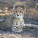 Cheetah [Explored]