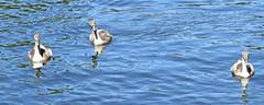 London wildlife (anthonyfalla) Tags: londonwildlife swansandcygnets swans swan cygnet cygnets birds waterfowl kingstonuponthames feather london wildlife