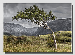 Windswept and Interesting (Bill McKenzie / bmphoto) Tags: tree windblown windswept rowan highland scotland scottishviewpoint scenic sutherland sidelit best