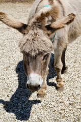 Donkey with Trump Haircut (jeffyphotos) Tags: donkeysanctuary guelph farm