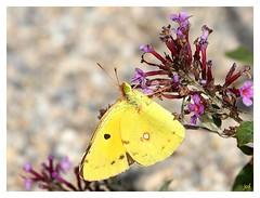 Soufr ou Fluor ? (nicphor) Tags: rhopalocres pirids papillons insectes faune nature flore couleurs