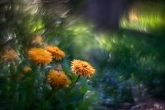 flowers 002 (owenclunn) Tags: 2016 australia brisbane flowers qld sonya7r2 swirlybokeh beyondbokeh macro macrodreams