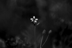 (Kals Pics) Tags: flowers lightandlife macroworld blackandwhite colorless monochrome kodaikanal india tamilnadu hillstation mountains westernghats bryantpark blackwhite lightandshadow monotone kalspics princess