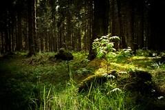 Klein aber oho | Small but impressive (mbridgener) Tags: harz wald sun magic trees sonnenstrahlen mystic canon eos 700d sonne darkness