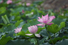 blossom lotus (yvone042488) Tags: flowers summer nature lotus blossom bee