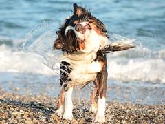 (mattia.cirillo95) Tags: italy dog pet black water cane marina puppy italia shepherd australian australiano tricolor acqua calabria cucciolo pastore tricolore caulonia arlock