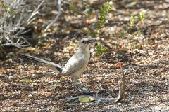 LeConte's Thrasher (bacpab) Tags: inyokern 2015 may25 lecontesthrasher