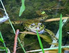 - It's me again !!! (Rose Fluo) Tags: green amphibian frog grenouille batrachian laughingfrog