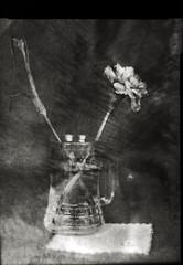 Inauthentic existence (O9k) Tags: camera flowers stilllife flower film glass analog studio soft papernegative jar vase 4x5 largeformat 9x12 pictorial viewcamera cameraporn selfdeveloped pictorialism homedeveloping sinarp industar51 directpapershot