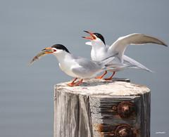 """Forster's Tern"" ""Sterina forsteri"" (jackhawk9) Tags: bird nature canon newjersey wildlife ngc 1001nights tern southjersey forsterstern edwinbforsythenationalwildliferefuge jackhawk9 sterinaforsteri"