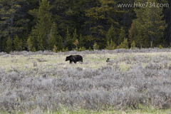 "Grizzly Bear with Cubs • <a style=""font-size:0.8em;"" href=""http://www.flickr.com/photos/63501323@N07/18221489146/"" target=""_blank"">View on Flickr</a>"