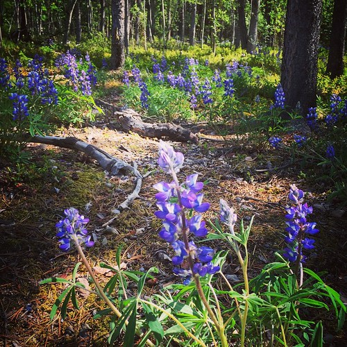 Arctic Lupine, one of the most common flowers in #yukon carpets the #yxy forest floor.